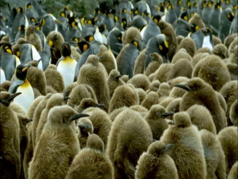 vídeos y material grabado en eventos de stock de king penguin (aptenodytes patagonicus) chicks in colony, marion island, south africa - pingüino cara blanca