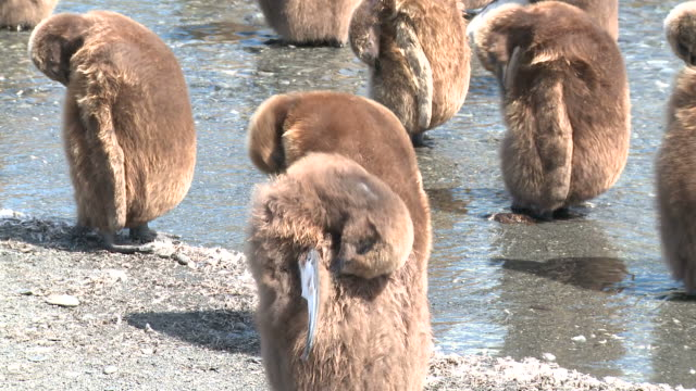 king penguin (aptenodytes patagonicus) chicks moulting in meltwater stream. gold harbour. south georgia - 雛鳥点の映像素材/bロール
