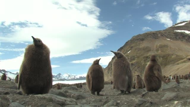 ms, la, king penguin (aptenodytes patagonicus) chicks on rocks, south georgia island, falkland islands, british overseas territory - 雛鳥点の映像素材/bロール