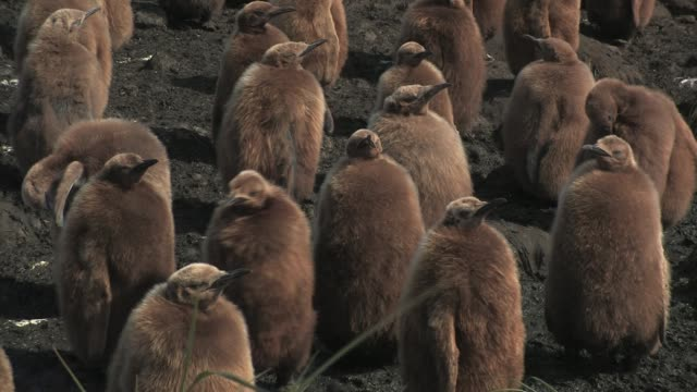cu, ha, king penguin (aptenodytes patagonicus) chicks, south georgia island, falkland islands, british overseas territory - 雛鳥点の映像素材/bロール