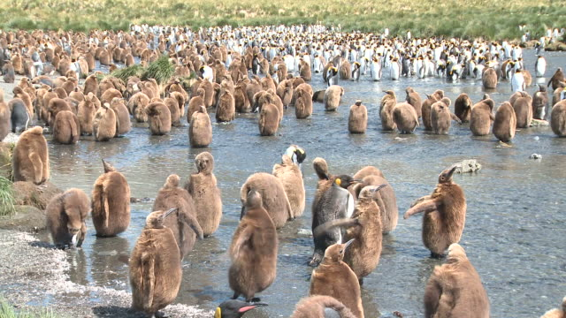 vídeos y material grabado en eventos de stock de king penguin (aptenodytes patagonicus) colony, chicks in meltwater stream. gold harbour. south georgia - grupo grande de animales