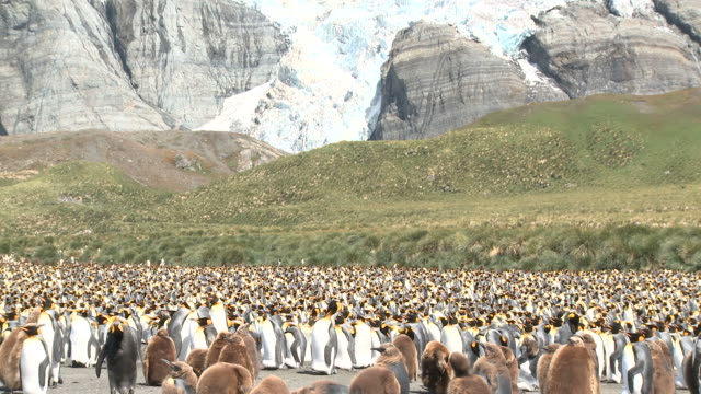 king penguin (aptenodytes patagonicus) colony, gold harbour. south georgia - royal penguin stock videos & royalty-free footage