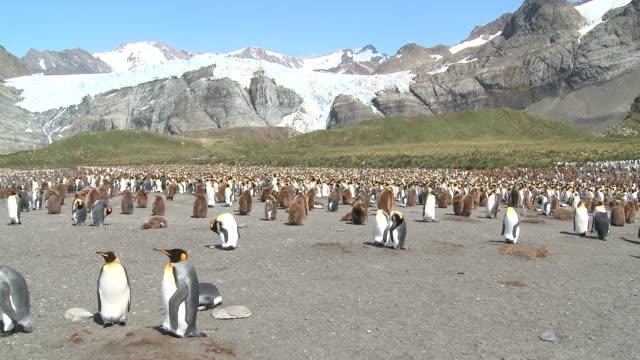 king penguin (aptenodytes patagonicus) colony, gold harbour. south georgia - 雛鳥点の映像素材/bロール