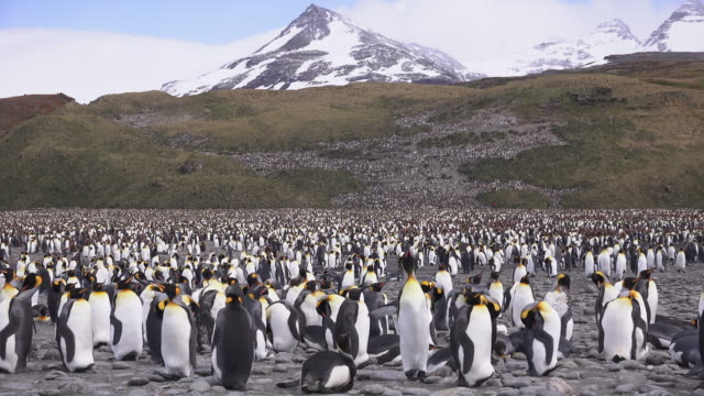stockvideo's en b-roll-footage met king penguin colony, salisbury plain, south georgia island, southern ocean - groothoek