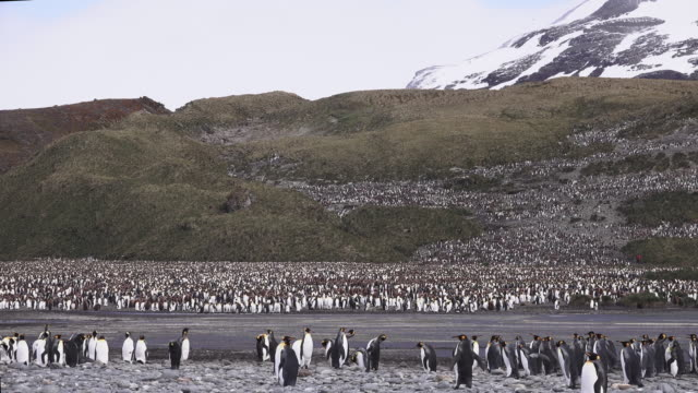 vídeos y material grabado en eventos de stock de king penguin colony, salisbury plain, south georgia island, southern ocean - pingüino cara blanca