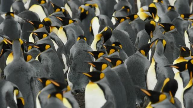 King Penguin colony, Time-lapse, Falkland Islands