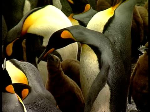 vidéos et rushes de ms king penguin colony with parents feeding young, antarctica - colony