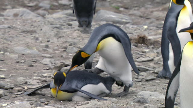 vidéos et rushes de king penguin couple courtship mating - comportement animal