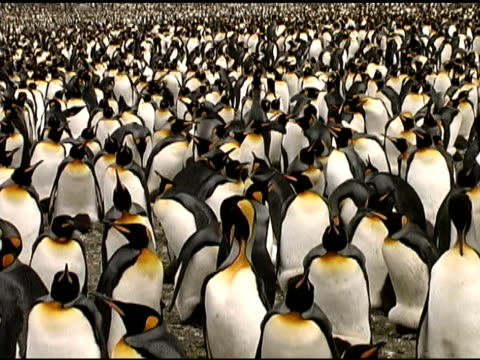 king penguin (aptenodytes patagonicus) crowd. south georgia - flightless bird stock videos & royalty-free footage