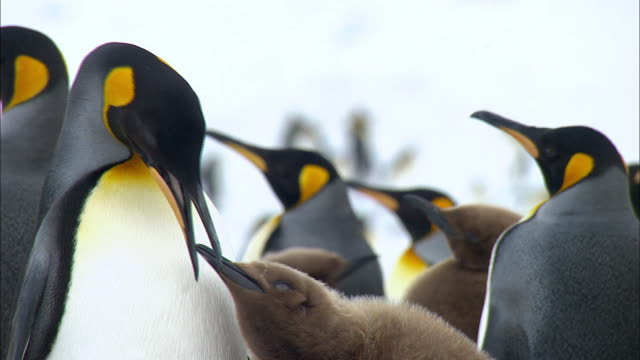 king penguin feeding penguin milk to its chick - feeding stock videos & royalty-free footage