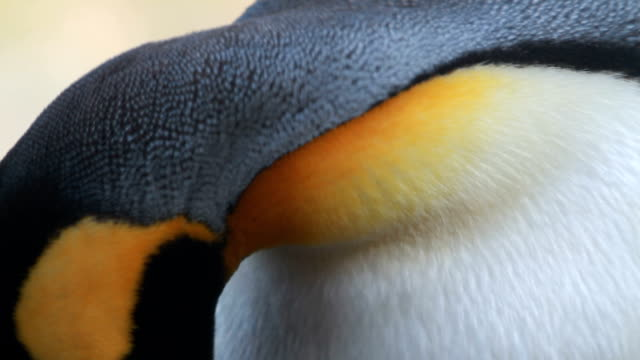 stockvideo's en b-roll-footage met excu king penguin grooming, grytviken, south georgia and the south sandwich islands - dierenverzorging
