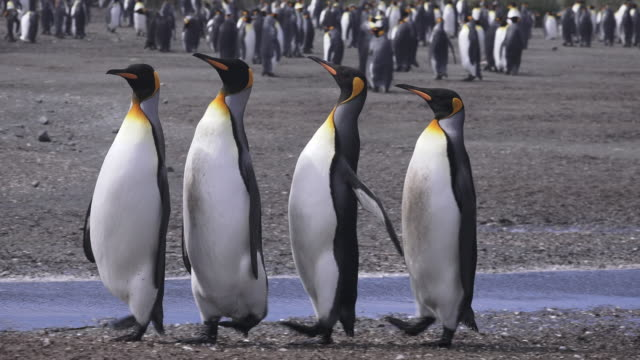 king penguin group of four walk quickly, salisbury plain, south georgia island, southern ocean - royal penguin stock videos & royalty-free footage