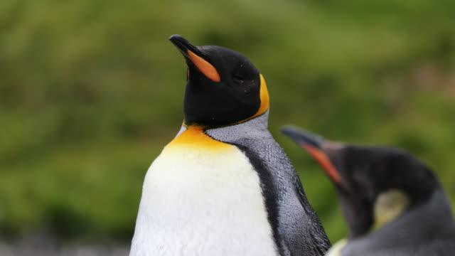 vídeos y material grabado en eventos de stock de king penguin headshot, green background, molting - pingüino cara blanca