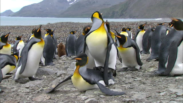 King Penguin interrupting a couple from mating