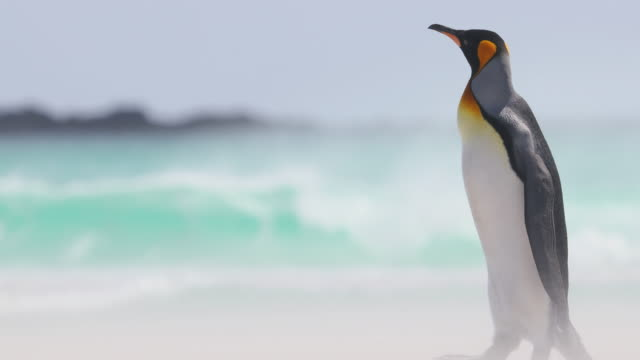king penguin on beach against turquoise waves - penguin stock videos and b-roll footage