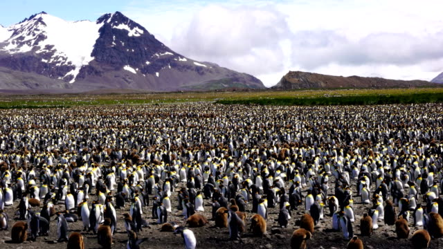 vídeos de stock e filmes b-roll de king penguin panorama - colony