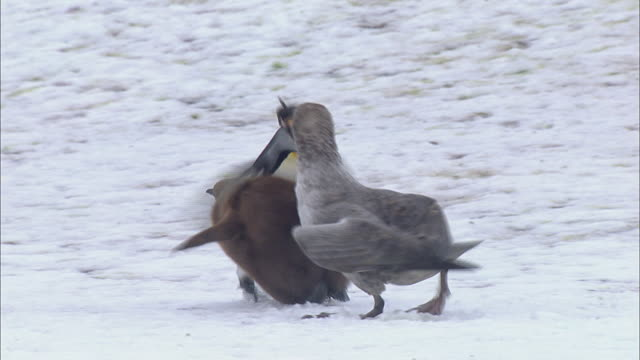 King Penguin protecting its chick from Giant Petrel