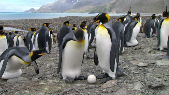 king penguin protecting its egg from neighbor king penguin - royal penguin stock videos & royalty-free footage