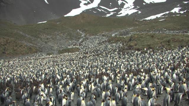 ws, king penguin (aptenodytes patagonicus) rookery on hillside, south georgia island, falkland islands, british overseas territory - royal penguin stock videos & royalty-free footage