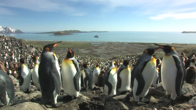 ms, king penguin (aptenodytes patagonicus) rookery, ship anchored in bay in distance, south georgia island, falkland islands, british overseas territory - anchored stock videos & royalty-free footage