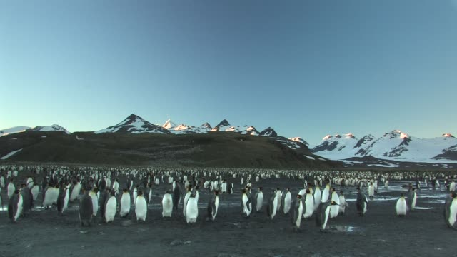 ws, pan, king penguin (aptenodytes patagonicus) rookery, snow capped mountains in background, south georgia island, falkland islands, british overseas territory - insel south georgia island stock-videos und b-roll-filmmaterial