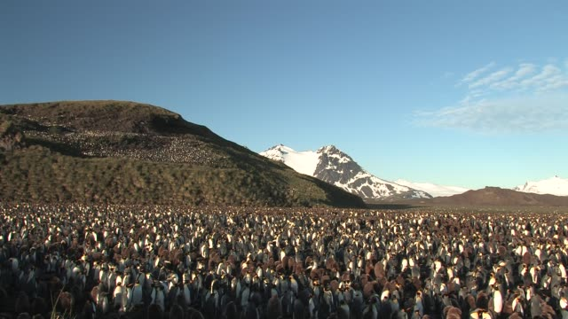 ws, pan, king penguin (aptenodytes patagonicus) rookery, snow capped mountains in background, south georgia island, falkland islands, british overseas territory - royal penguin stock videos & royalty-free footage