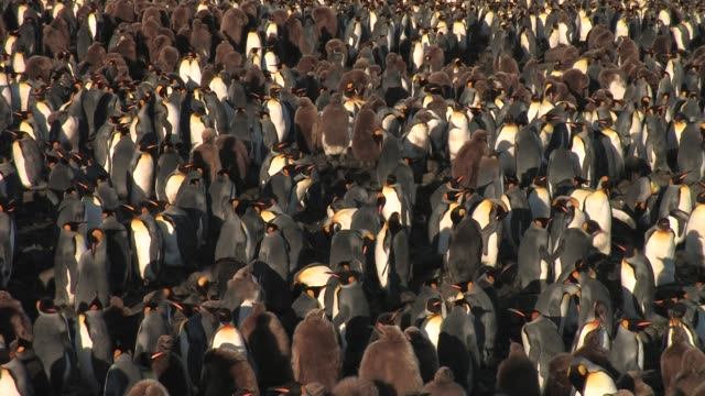 ms, ha, pan, king penguin (aptenodytes patagonicus) rookery, south georgia island, falkland islands, british overseas territory - royal penguin stock videos & royalty-free footage