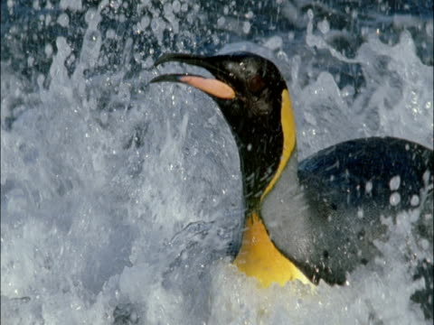 king penguin (aptenodytes patagonicus) scrambles ashore in surf, marion island, south africa - animal markings stock videos & royalty-free footage