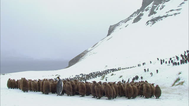 vídeos y material grabado en eventos de stock de king penguin standing alone in the middle of chicks - pingüino cara blanca