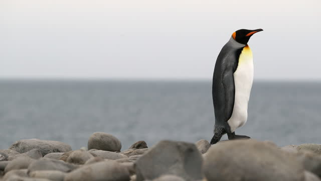 king penguin standing on pebbles by sea - royal penguin stock videos & royalty-free footage