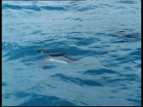vídeos y material grabado en eventos de stock de king penguin swims underwater then leaps (porpoises) out of water - pingüino cara blanca