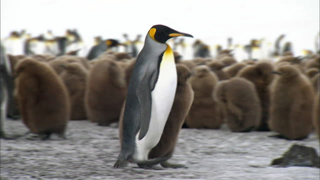 king penguin taking a chick - royal penguin stock videos & royalty-free footage