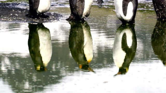 king penguin - royal penguin stock videos & royalty-free footage
