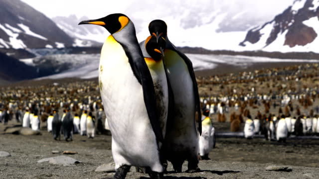 king penguin - wildlife reserve stock videos & royalty-free footage