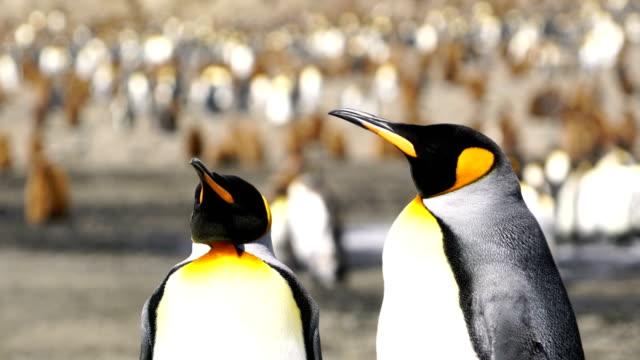 vídeos y material grabado en eventos de stock de pingüino rey - área silvestre