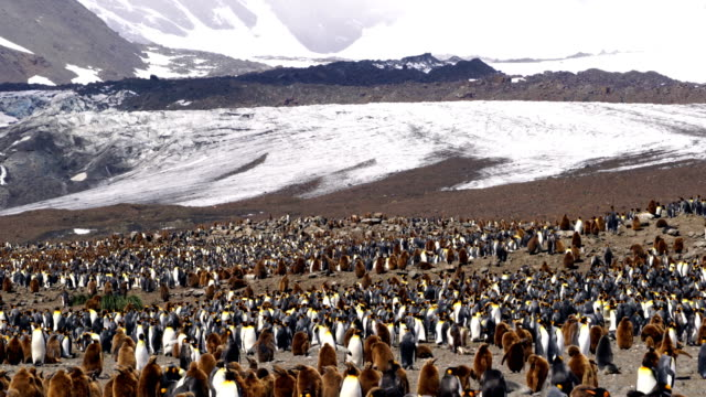 king penguin - colony stock videos & royalty-free footage