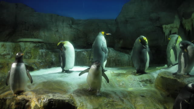 king penguin - 水族館点の映像素材/bロール