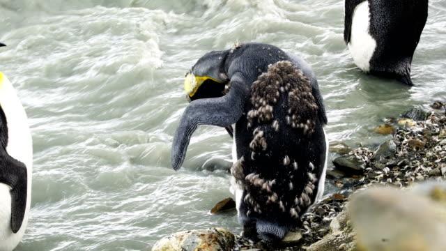 vídeos y material grabado en eventos de stock de pingüino cara blanca - pingüino cara blanca