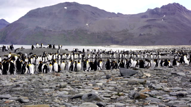 king penguin - insel south georgia island stock-videos und b-roll-filmmaterial