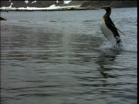 king penguin waddles ashore, looks as though he walking on water, antarctica - king tide stock videos & royalty-free footage