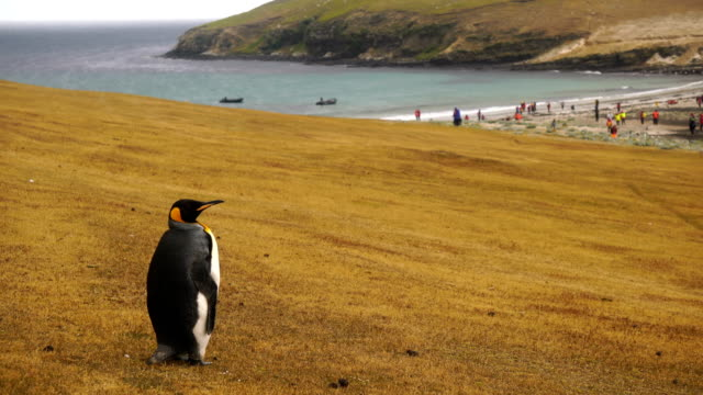 king penguin walking on a sandy beach - cruise antarctica stock videos & royalty-free footage