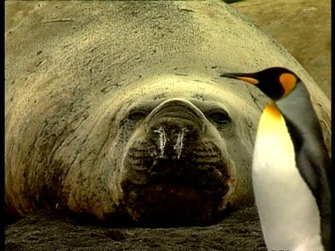 MCU King Penguin walking past sleepy Elephant seal with ice on nose, Antarctica