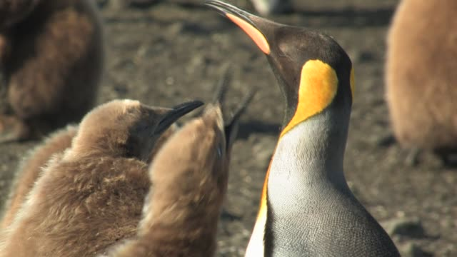 cu, king penguin (aptenodytes patagonicus) with two chicks, south georgia island, falkland islands, british overseas territory - royal penguin stock videos & royalty-free footage