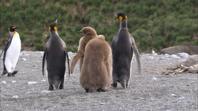 ms king penguins adults and chicks audio / gold harbour, south georgia, antarctica - royal penguin stock videos & royalty-free footage