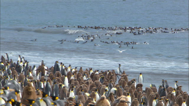 king penguins and their chicks at beach - royal penguin stock videos & royalty-free footage