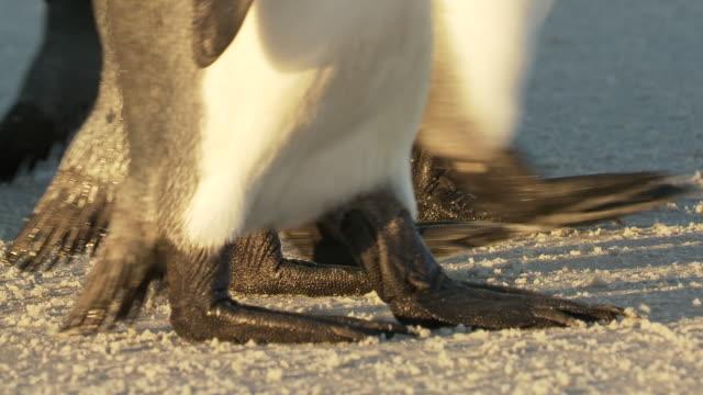 cu king penguins aptenodytes patagonicus feet walking on beach in golden light / volunteer point, falkland islands - royal penguin stock videos & royalty-free footage