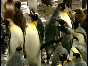vidéos et rushes de ms king penguins, aptenodytes patagonicus, nipping at each other with beaks, antarctica - pôle sud