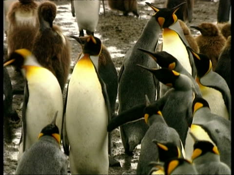 ms king penguins, aptenodytes patagonicus, nipping at each other with beaks, antarctica - south pole stock videos & royalty-free footage