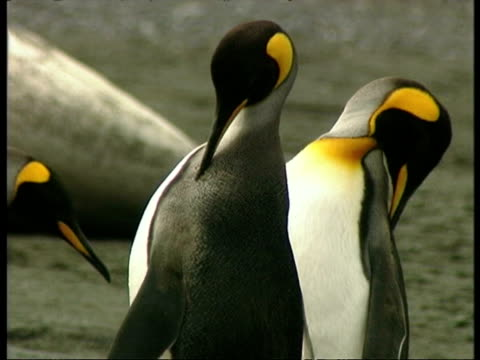 ms king penguins, aptenodytes patagonicus, preening themselves, antarctica - 南極点点の映像素材/bロール