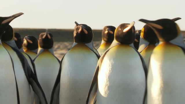 vídeos y material grabado en eventos de stock de ms king penguins aptenodytes patagonicus walking on beach golden light / volunteer point, falkland islands - pingüino cara blanca